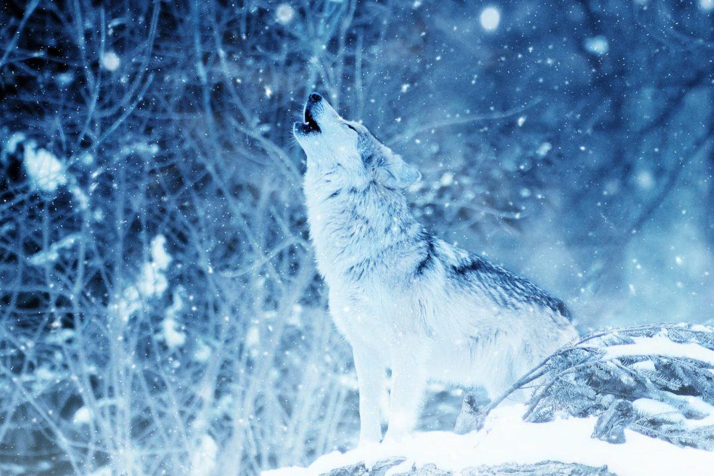 howling northeastern wolf in snow her sin intro
