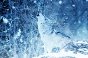 howling northeastern wolf in snow her sin intro