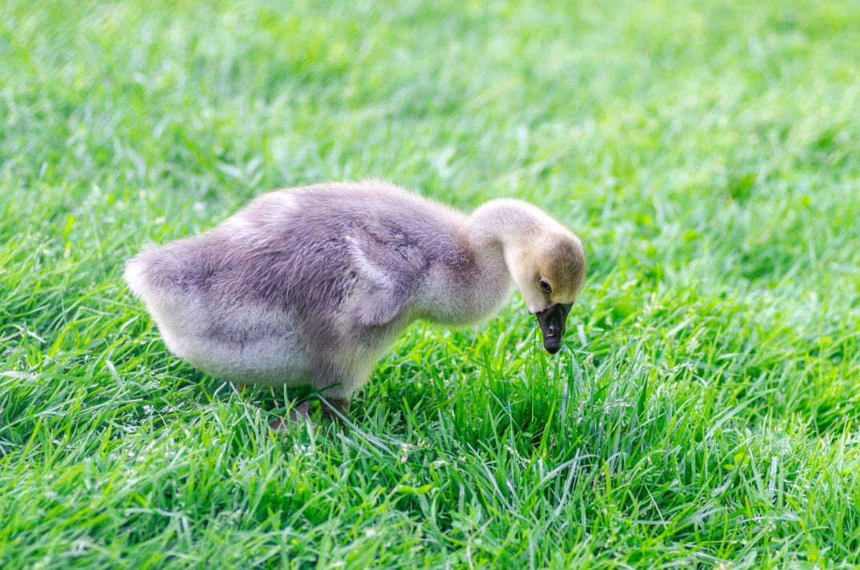 baby goose brestfeeding